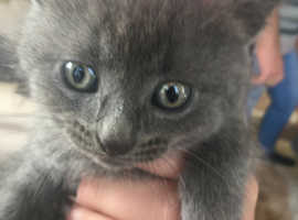 Rare blue grey kitten for sale
