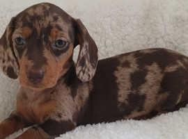 Gorgeous Chocolate Dapple Girl Miniature Dachshund