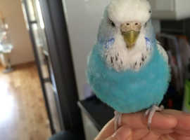 Lost Beautiful little blue and white budgie Jackie