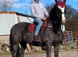 Super Irish draught mare