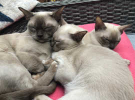 Beautiful Burmese kittens GCCF registered