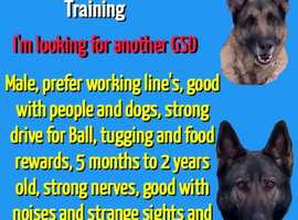 German Shepherd Dog wanted