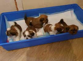Full breed Shih tzu puppies