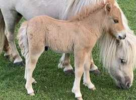 Mini Shetland foal