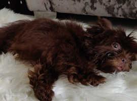 Stunning Chocolate KC Reg Karashishi Shih Tzu Puppy Boy