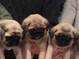 Stunning full pug pups