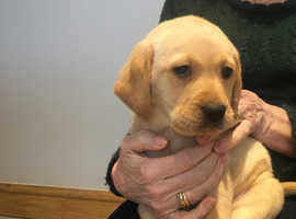Beautiful fox red and golden Labrador puppies