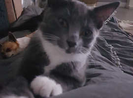 Gray and wite cat