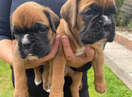 4 beautiful boxer puppies looking for forever homes  5weeks old2200
