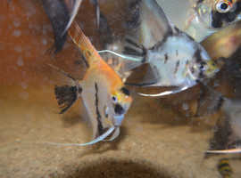 "angel fish tank bred about 2"" koi and black"