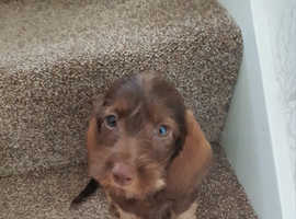 Wire haired dachshund chocolate puppy boy