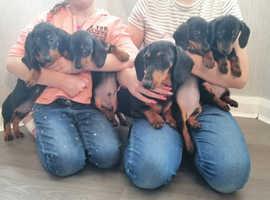 Adorable miniature Dachshund puppies