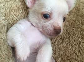 Chinese crested hairless x Chihuahua puppies for sale, 2 females available, ready to leave for their forever homes on Tuesday 20th, they will be 8 wee
