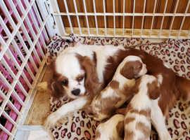 Health Tested Blenheim Caviler King Charles Puppies
