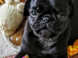 Girl pug puppy for sale (still for sale due to time waster)