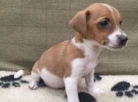 Jack Russell Puppies - Vet Checked & Vaccinated