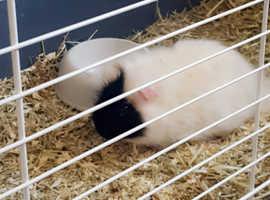 Guinea pigs - new home