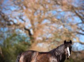 Superb Potential Eventing/Pony Club Star