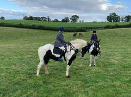 To share 16.3 hh coloured gelding Irish cob