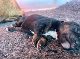 Border terrier x Jack Russel male