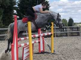 All rounder Connemara mare for sale