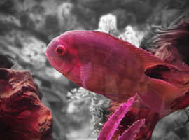 Chocolate cichlids wanted