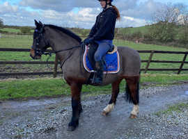 Super 13.2hh pony for sale