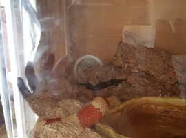 Albino milk snake