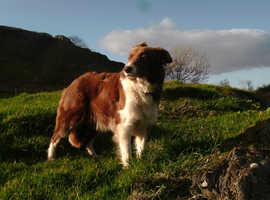 Quality Red and White Border Collie Pups