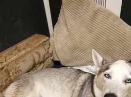 Huskita puppies deposits secures