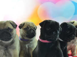 Stunning Pug Puppies black and fawn all females