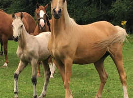 14:2hh Palomino Reg WPBR proven Broodmare