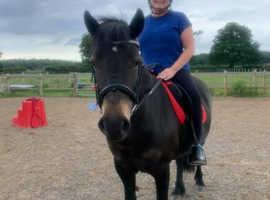13.2/13.3hh Exmoor x Fell Pony
