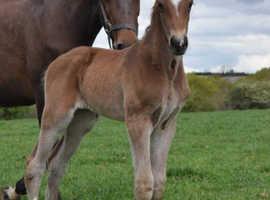 Impressive Colt Foal Cavalier/Indoctro/Burgraff
