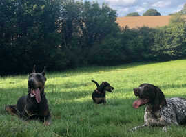 Blue and tan Doberman for sale