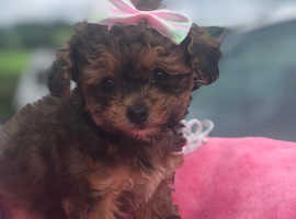 F1 Toy Maltipoo puppy's