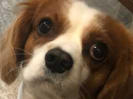 Blenheim Cavalier King Charles for stud duties