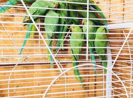 Indian ringneck talking parrots babies