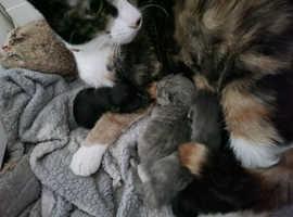 Rag/mainecoon kittens