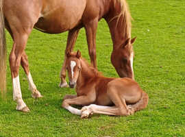 Welsh B mare and colt foal