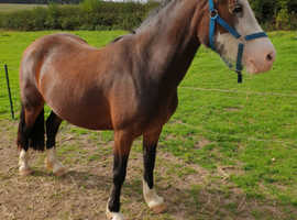 14hh 4 year old welsh d mare