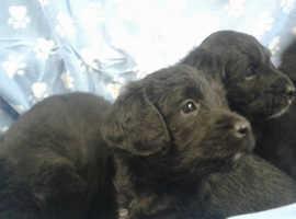 Gorgeous Miniature Labradoodle Puppies