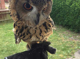 Pair of bengle eagle owls