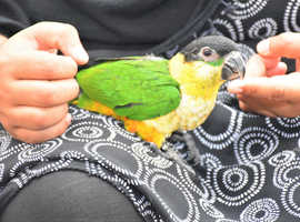 HAND REARED BLACK HEADED CAIQUE BABY PARROT  TAME AND TALKING