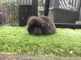 Sable single mane mini lion lop baby rabbit boy