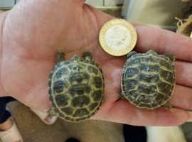 Baby horsefield tortoises fr sale