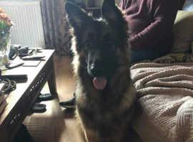 Dog for sale German Shepard