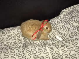 Dwarf lop eared rabbit