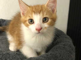 Ginger And White Kittens Male Cute