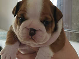 BEAUTIFUL KC BULLDOG PUPPIES FOR SALE